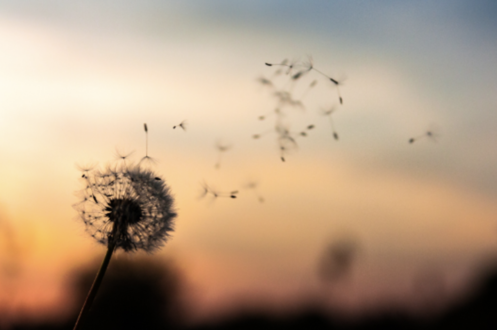 Seeds blowing off a dandelion